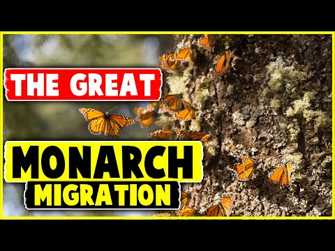 The Great Monarch Migration