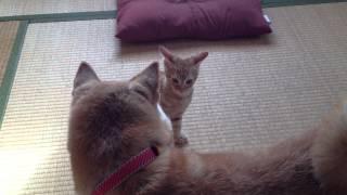 柴犬モコに、猫のレオがケンカを仕掛けます。