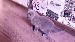 Британские котята. Послушный мальчик) british shorthair