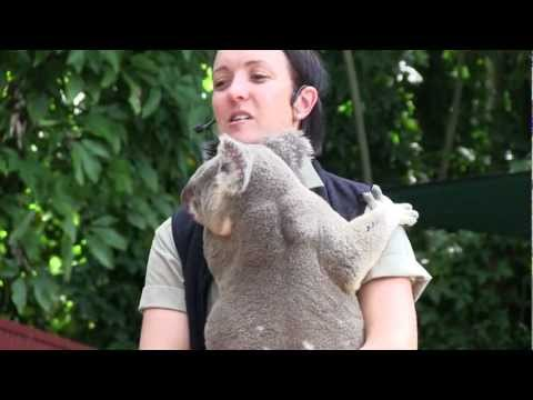 Wombat And Koala Video: Cairns Tropical Zoo