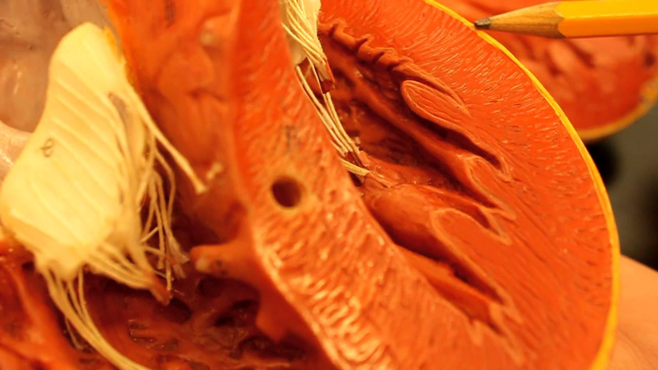 Heart Wall Layers Mendocino Anatomy - YouTube