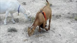 Video Bacchus Johnson Shield Anti Mating Apron for Goats/Sheep download MP3, 3GP, MP4, WEBM, AVI, FLV Agustus 2018