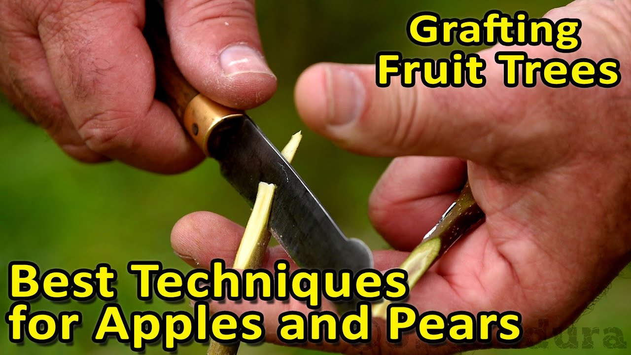 Hand Grafted Apple tree