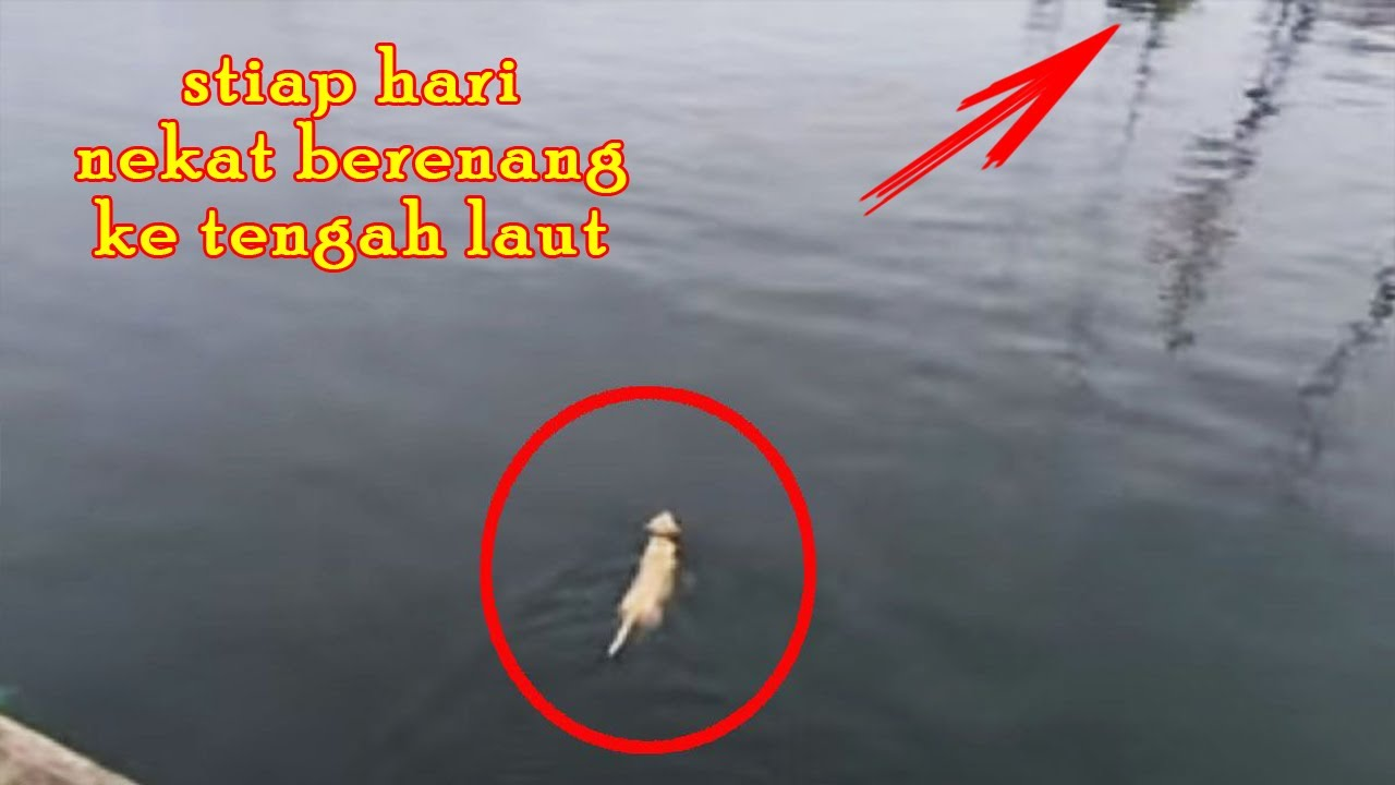 Anjing Ini Tiap Pagi Berenang ke Tengah Laut. Setelah Diikuti, Pemiliknya Terkejut Melihat Ini