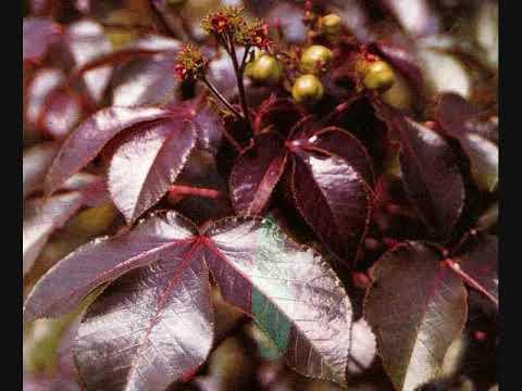Image result for daun jarak merah