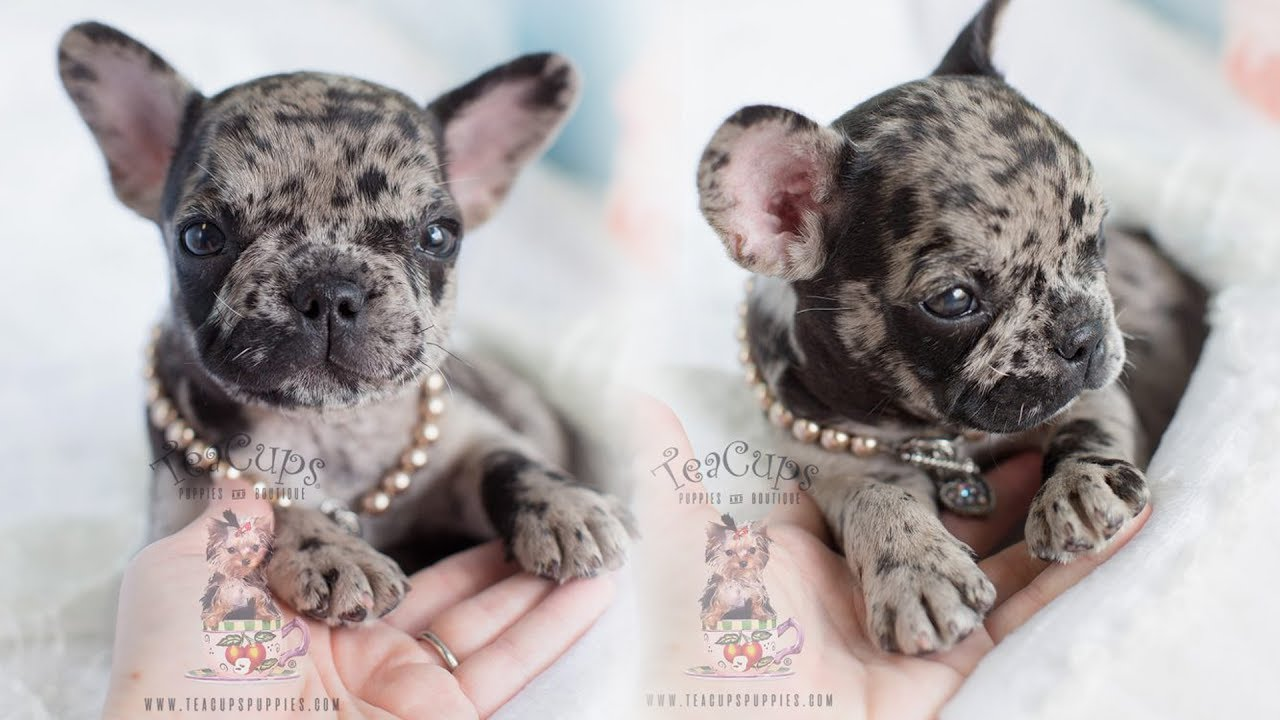 French Bulldog Puppies For Sale by TeaCups, Puppies & Boutique