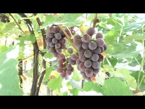 Лидия - столово-технический сорт винограда