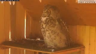 International Owl Center live stream on Youtube.com