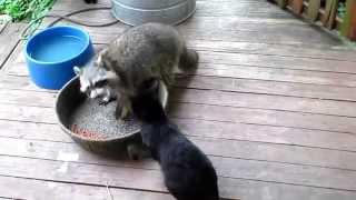 Супер-топ прикол.Енот отбирает еду у кошки.Март 2015.Raccoon unphased by cat smack