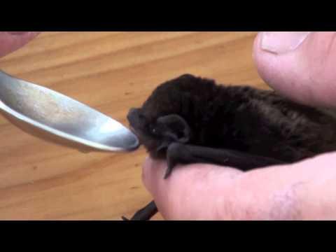 Ash-the baby bat