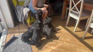 Kerry Blue Terrier puppies 7 weeks old and 2 days