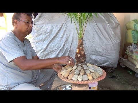 How to bonsai a Palm tree (with English subtitle)