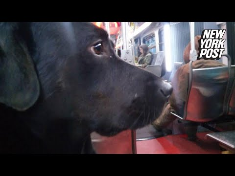 Seattle's bus-riding dog is smarter than its owner | New York Post