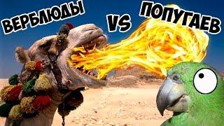 Попугай против верблюдов (  Bird vs Camel)