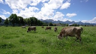 Cow Pasture on the Alps | Stock Footage