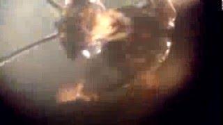 Hormiga voladora al microscopio