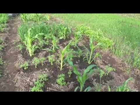Зернобобовые культуры
