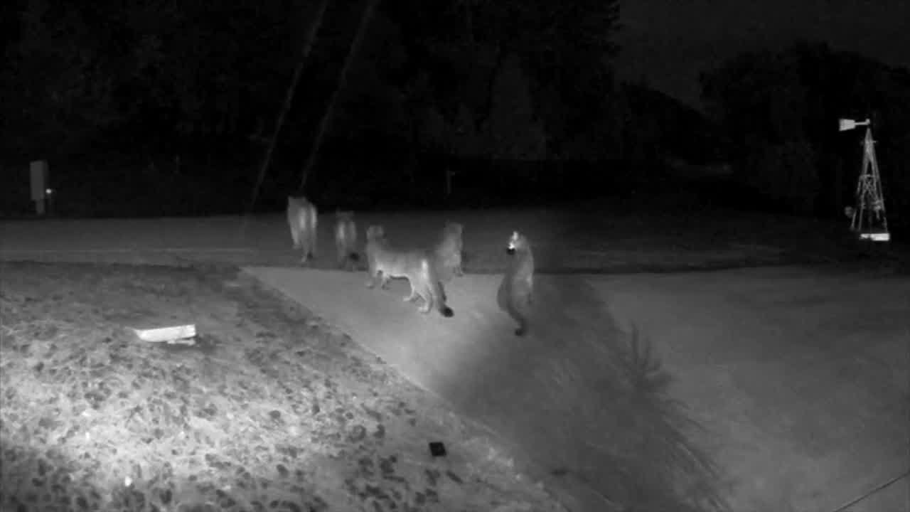 Rare video shows 5 mountain lions together in California