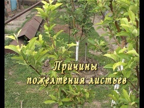 Причины пожелтения листьев. Лечение супер метод. | желетеют | листьев | желтеют | деревья | болезни | яблони | яблоне | хлороз | растен | почему