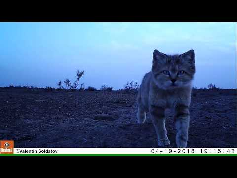 Curious Sand Cat