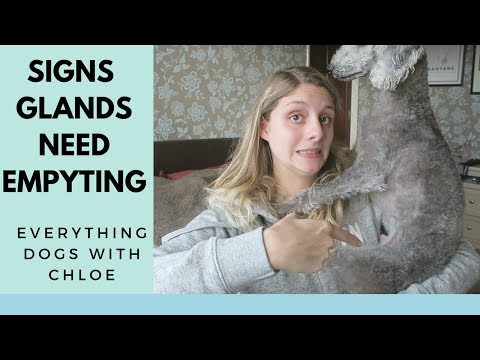 EMPTY DOGS GLANDS - SIGNS DOG NEEDS GLANDS EXPRESSED