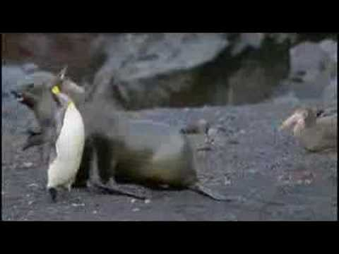 Fur Seals VS Penguins