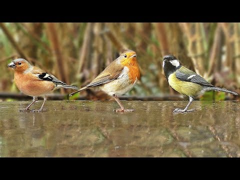 TV for Cats and Dogs to Watch : Woodland Birds Chirping in The Rain