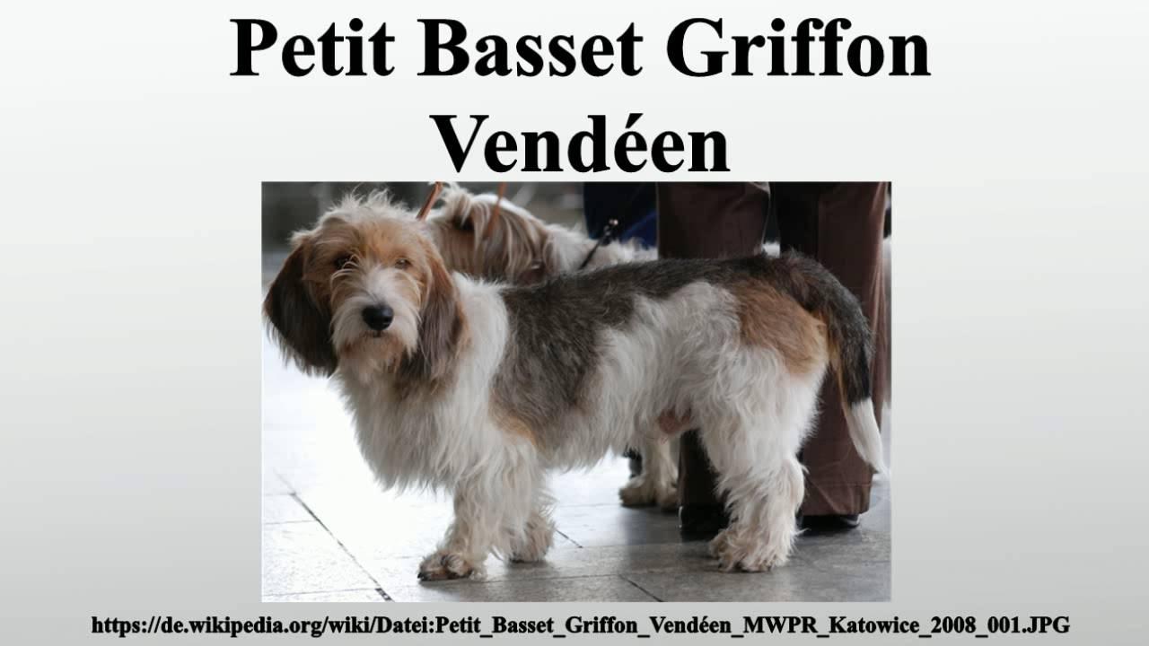 Petit Basset Griffon Vendéen - YouTube Petit Basset Griffon Vendeen Nz