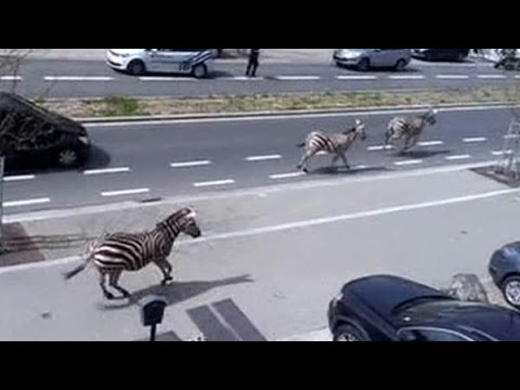 News zebra crossing! Animals run wild in city 17 April 2015