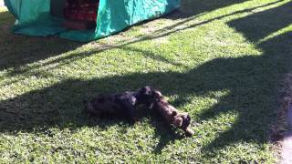 Dachshund Puppies Playing Very Cute