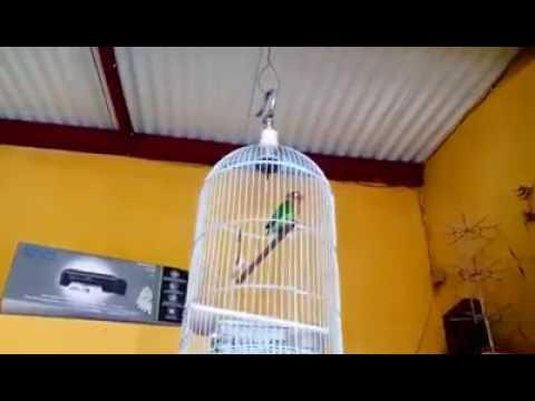 LOVEBIRD NGEKEK 1 MENIT UP