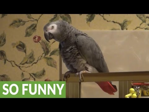 Parrot says 'Bombs Away' for hysterical reason