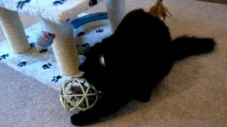Fluffy the siberian kitten is playing with a mouse in a ball