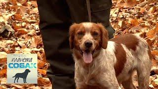 Бретонский эпаньоль. Планета собак 🌏 Моя Планета