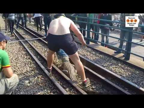 Croc Caught at Railway Tracks over Victoria Falls, Zimbabwe