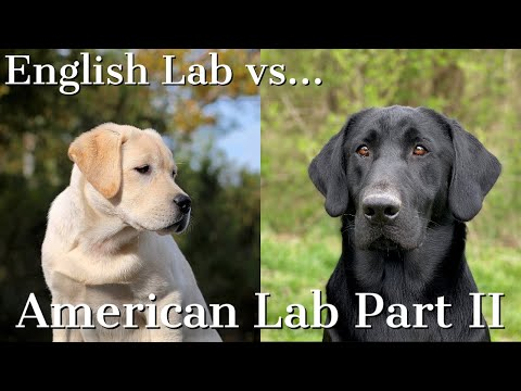 English vs American Labrador Retrievers Part 2