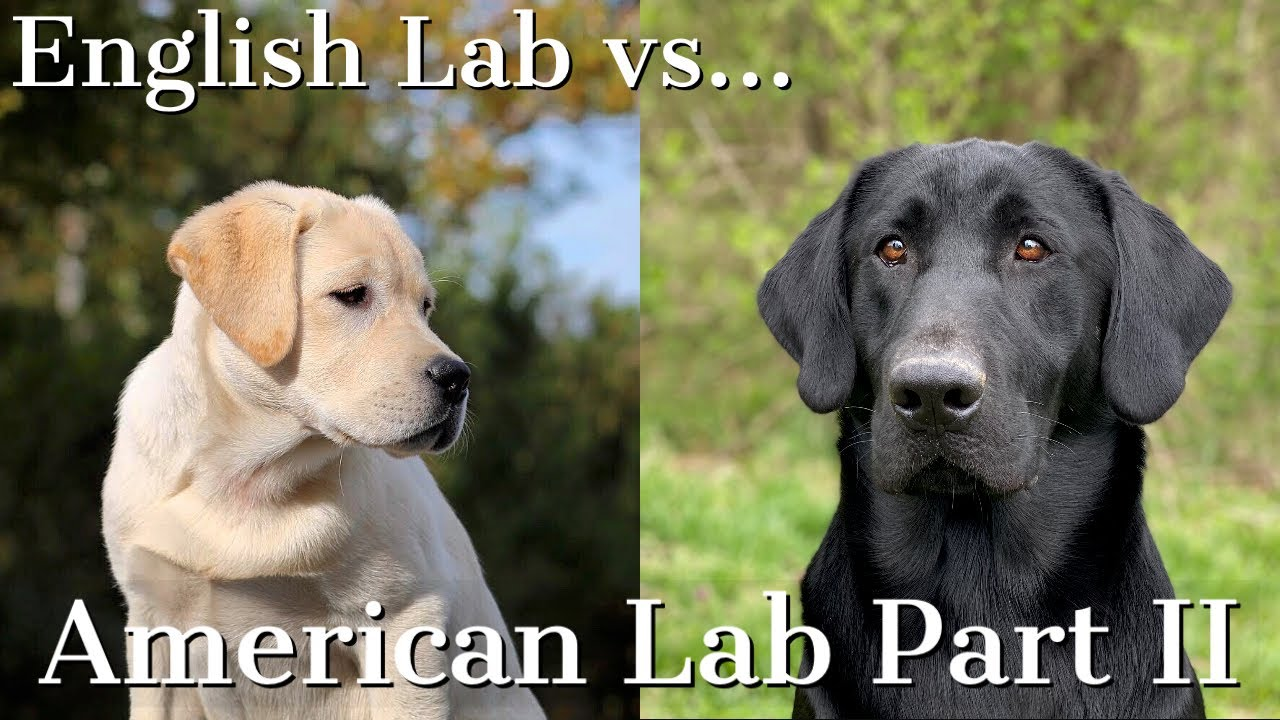 English Vs American Labrador Retrievers Part 2 Youtube