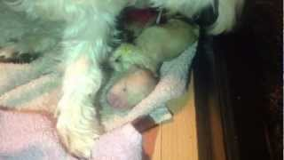 Westie Giving Birth