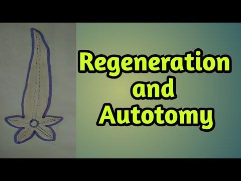 Regeneration And Autotomy|Sea Star|starfish Power Of Regeneration And Autotomy