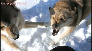 Айда избила Тулана. Драка собак.