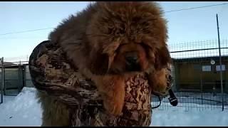 Щенок тибетского мастифа в продаже: Белый Лекарь Имбирь - 3 - мес. -http://beliy-lekar.ru/