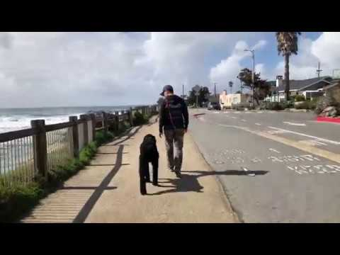 Giant Schnoodle Archie |Central Coast: Off-Leash K9 Training