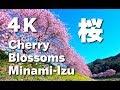 [4K] 南伊豆・みなみの桜と菜の花まつり Minami-Izu Cherry Blossom 伊豆観光 日本の桜 河津桜 花見 櫻花 樱花
