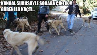 KANGAL SÜRÜSÜ İLE SOKAĞA ÇIKTIK GÖRENLER KAÇTI ( Kangalları Gören Herkes ve Sokak Köpekleri Kaçtı )