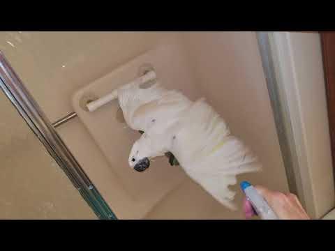 Onni Cockatoo Finally Took A Big Boy Shower