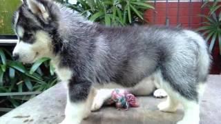 Siberian Husky Dog | Siberian Husky Dog Breed Pictures