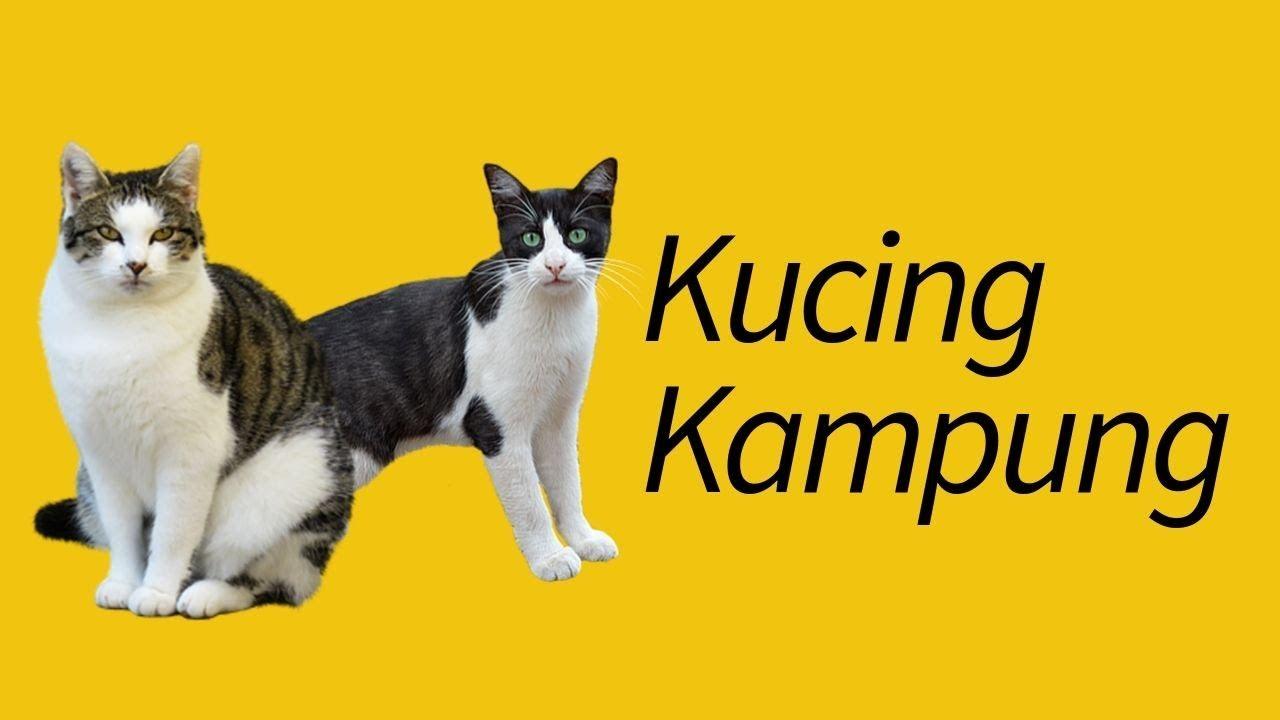 Apa Itu Kucing Kampung Wajib Banget Tahu Meowcitizen
