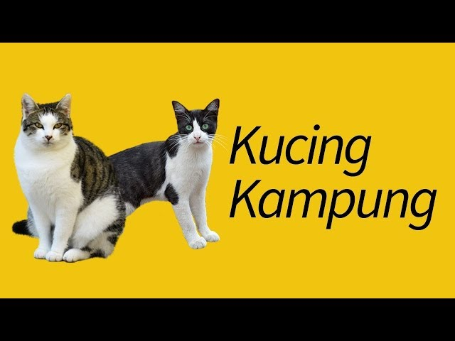 Jenis Kucing Kampung Terjawab Youtube
