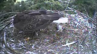 Humboldt Bay eagles,dad nestorating,here comes K,2nd clip Kyle goes into defensive mode,8/10/13