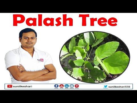 palash tree or butea monosperma